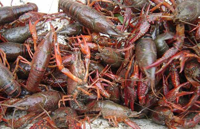 小龙虾的人工养殖技术,价格会涨吗?